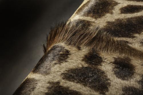 Giraffe hair detail