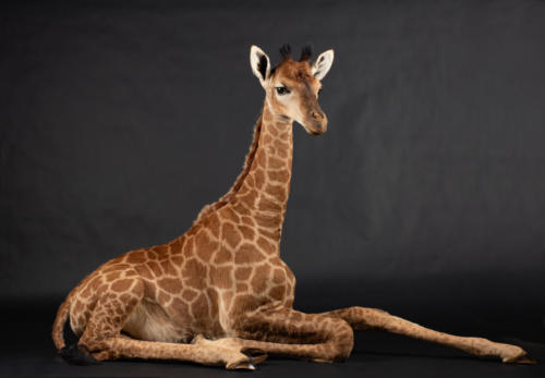 Giraffe-Baby-Lying-Down