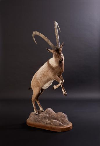Ibex-Jumping-right