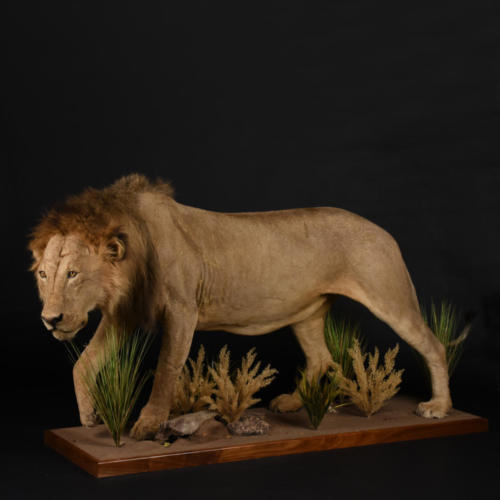 Lion-Stalking-Fullmount