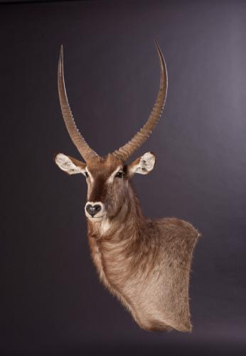 Waterbuck-Wall-Pedestal
