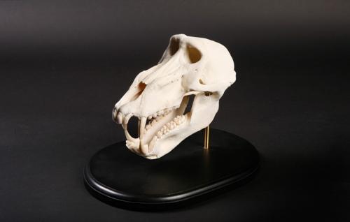 Baboon-Skull-Desktop