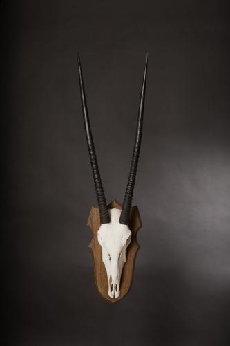 Gemsbok Wood skull
