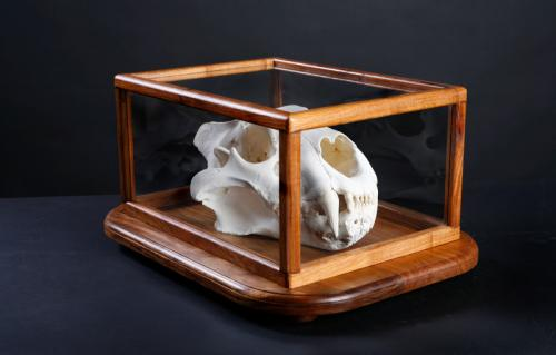 Lion-Skull-Glass-Case