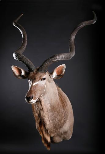 Kudu-Shoulder-Straight-2