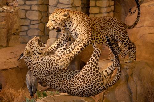 Leopards fighting landscape