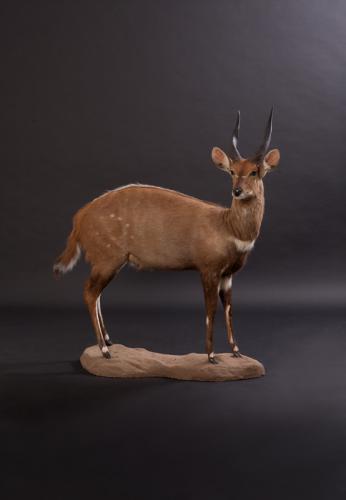 Bushbuck-Standing