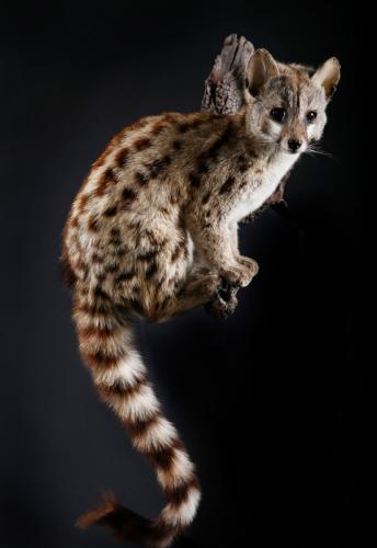 Genet-Cat-Fullmount