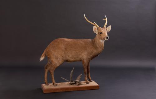 Hog-Deer-Standing