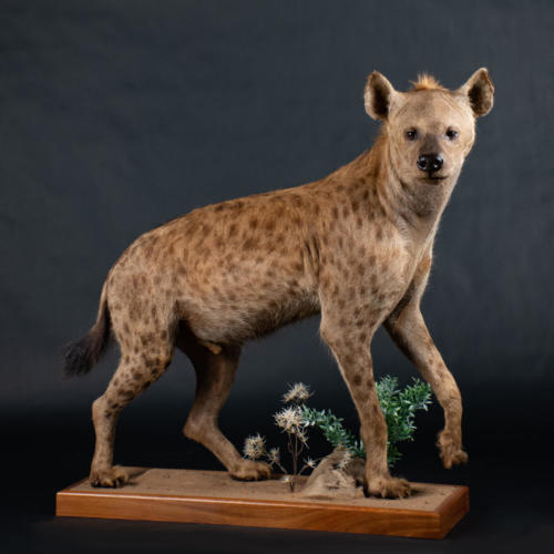 Hyena-Spotted