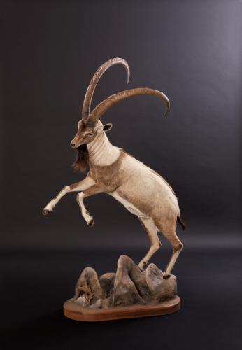 Ibex-Jumping-left