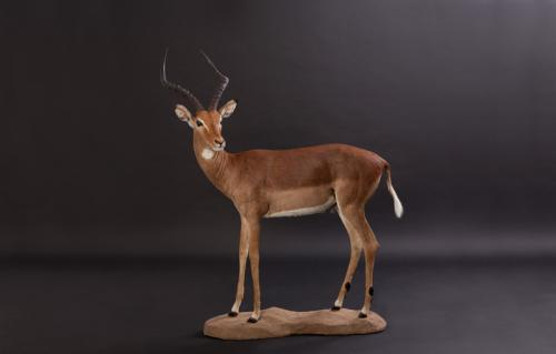 Impala-Standing