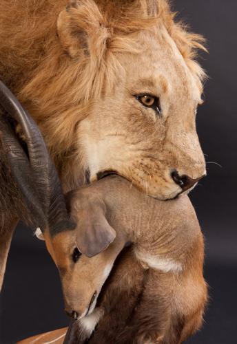 Lion-Bushbuck-Closeup