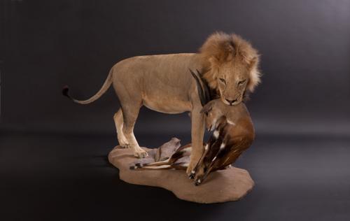 Lion-Bushbuck-Combo