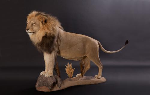 Lion-Standing-Elevated