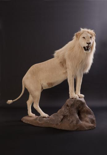 Lion-White-Elevated