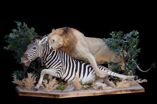 Lion-Zebra-1
