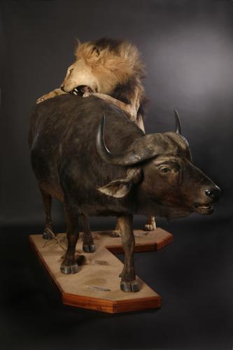 Lion and Buffalo scene