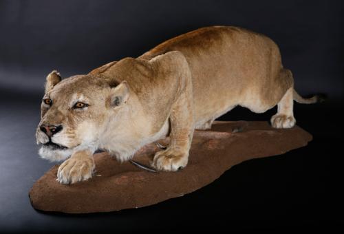 Lioness-Crouching