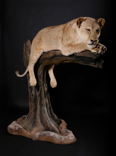 Lioness-on-Log