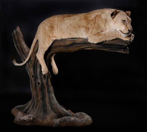 Lioness-on-log-side