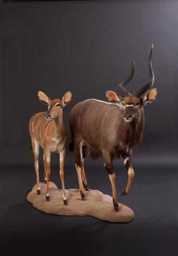 Nyala-Male-Female-Combo