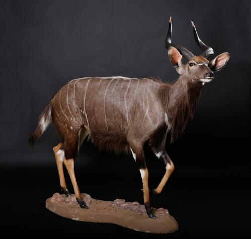 Nyala-Walking-Side