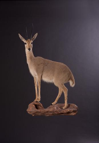 Vaal-Rhebok-Standing-Elevated