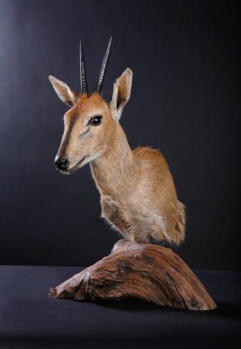 Duiker-Pedestal-Driftwood
