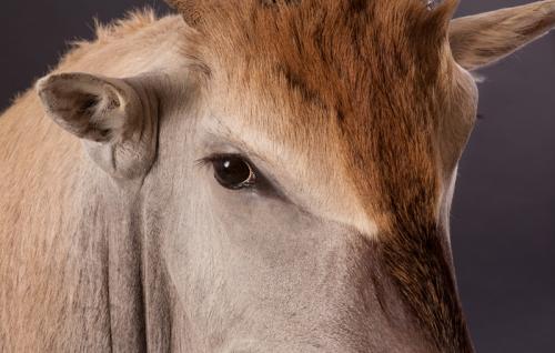 Eland-Face-Closeup