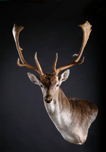 Fallow-Deer-Wall-Pedestal