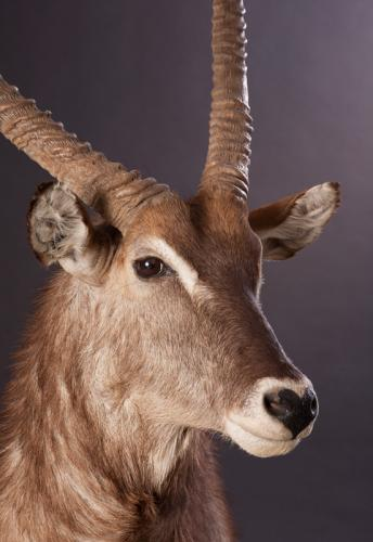 Waterbuck-Face