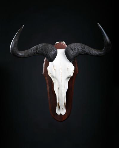 Blue-Wildebeest-Skull-Black