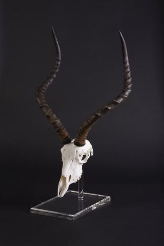 Impala Perspex stand turned