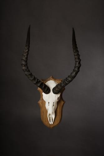 Impala Wood skull 1