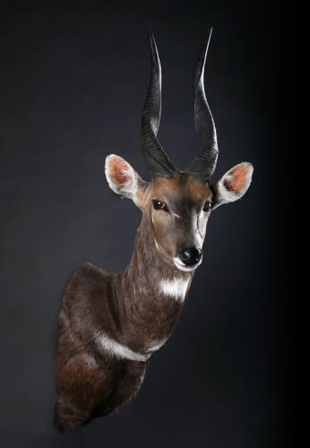 Bushbuck-Shoulder-medium-turn