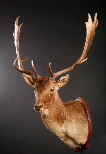 Fallow-Deer-Shoulder-Medium-Turn