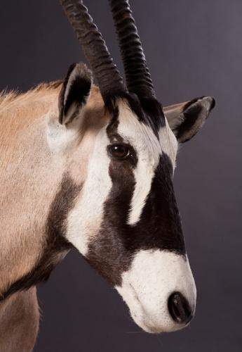 Gemsbok-Face-Close