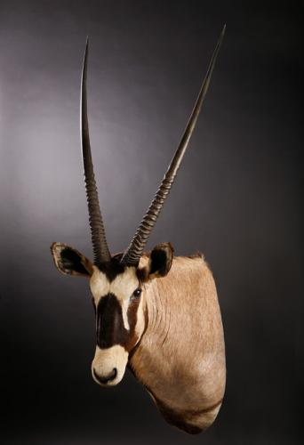 Gemsbok-Shoulder-Slight-Turn