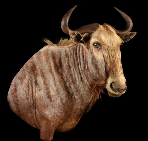 Golden-Wildebeest-SM