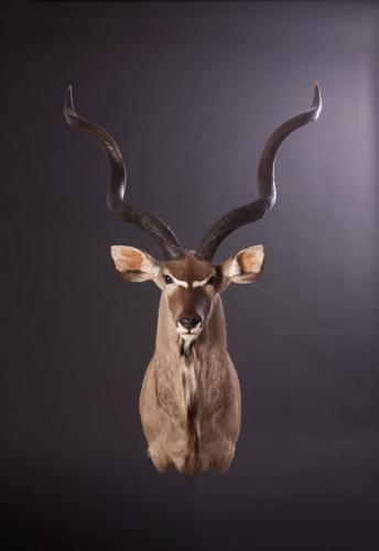 Kudu-Shoulder-Straightview
