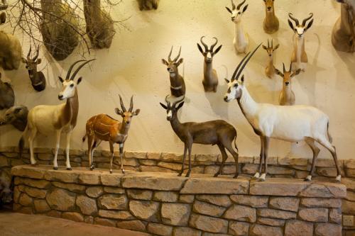 Arabian Oryx scene wide