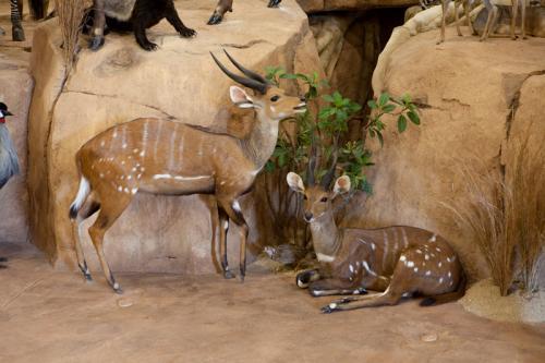 Bushbuck pair