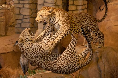 Leopards fighting landscape