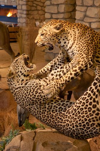 Leopards fighting portrait