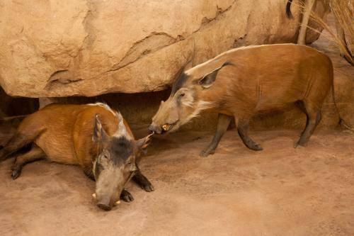 Red Forest hog pair