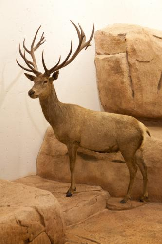 Stag full mount