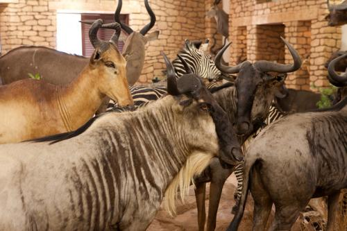 Wildebeest scene 2